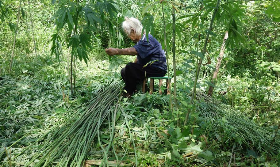 モン(Hmong)族の麻の刈り入れ_織り人(Orijin)
